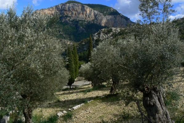 Olive tree Orient
