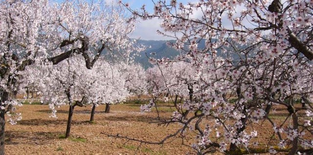 Almond blossom in February in Mallorca